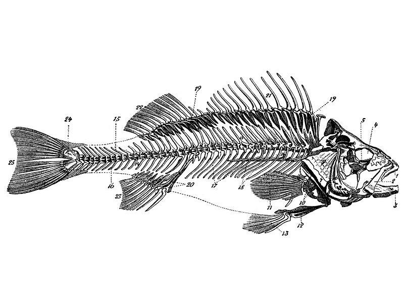 fischlexikon  anatomie und physiologie der knochenfische