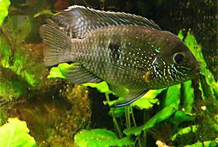 Blaupunktbuntbarsch (Andinoacara pulcher) | Fischlexikon