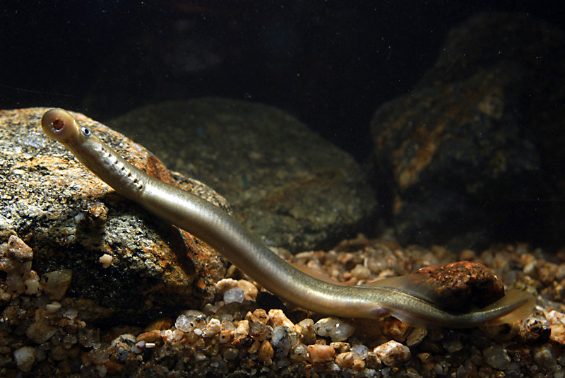 Bachneunauge (Lampetra planeri) | Fischlexikon