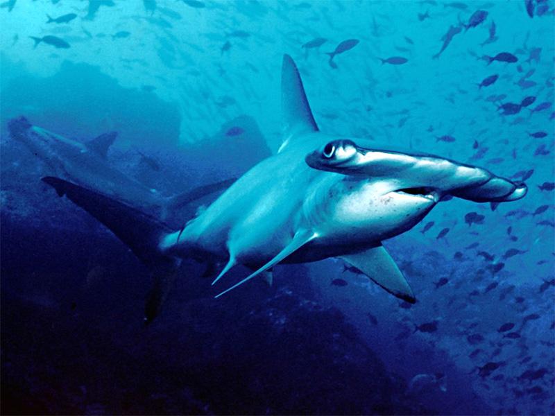 Bogenstirn-Hammerhai (Sphyrna lewini)   Fischlexikon