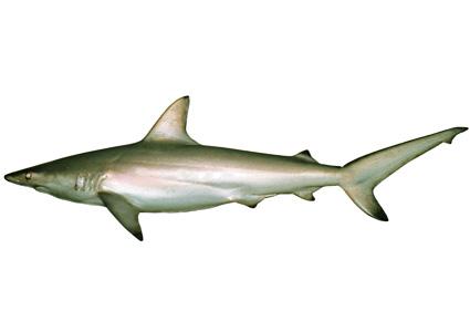 Australischer Schwarzspitzenhai (Carcharhinus tilstoni) | Fischlexikon