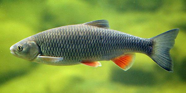 Döbel, Aitel, Alet, Eitel (Squalius cephalus) | Fischlexikon