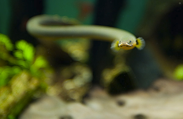 Flösselaal (Erpetoichthys calabaricus)   Fischlexikon