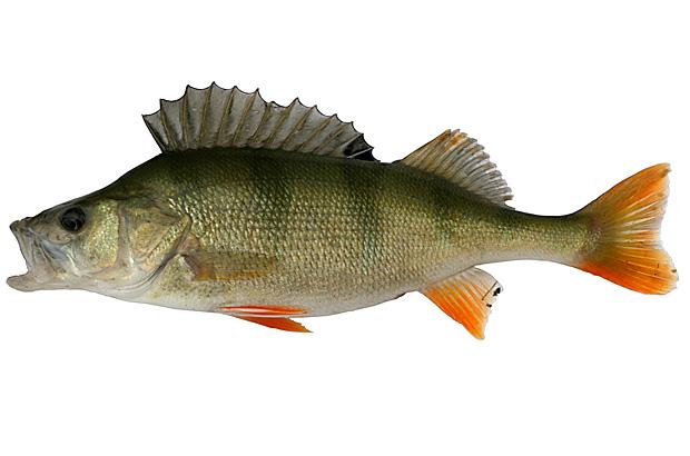 Flussbarsch barsch egli kr tzer perca fluviatilis for Fisch barsch
