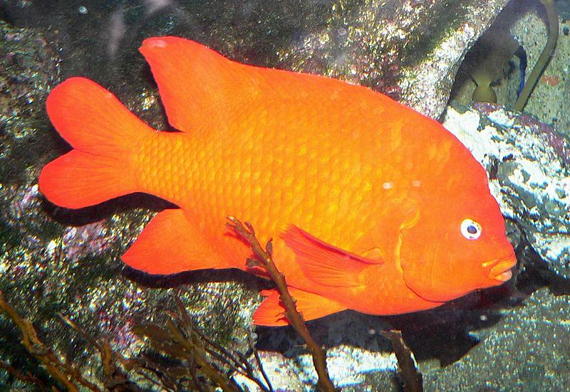 Garibaldifisch Hypsypops Rubicundus Fischlexikon