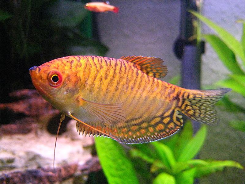 Gepunkteter fadenfisch trichogaster trichopterus for Siamesischer kampffisch haltung