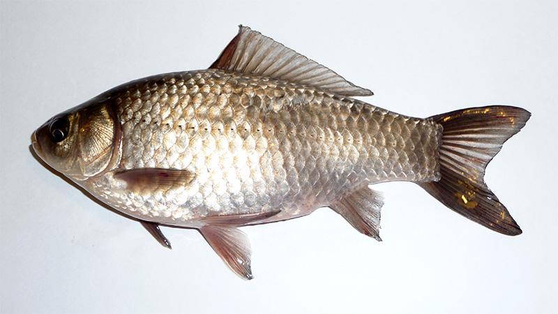 Giebel, Silberkarausche (Carassius gibelio)   Fischlexikon