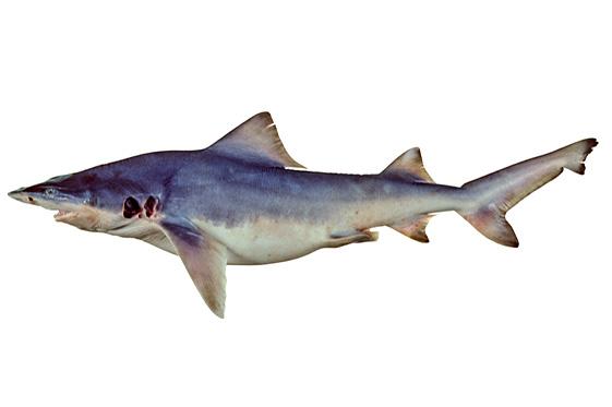 Glyphis garricki (Glyphis garricki) | Fischlexikon