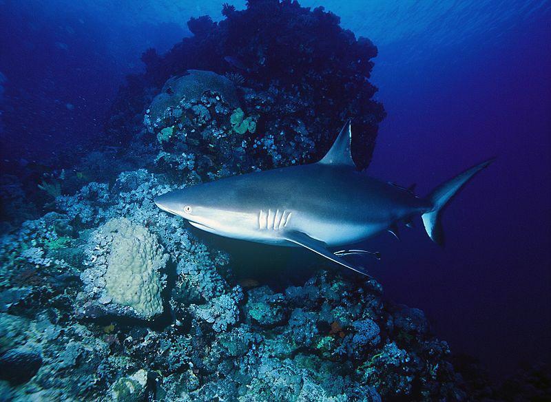 Grauer Riffhai (Carcharhinus amblyrhynchos)   Fischlexikon