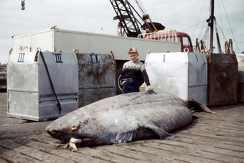 Gronlandhai Eishai Somniosus Microcephalus Fischlexikon