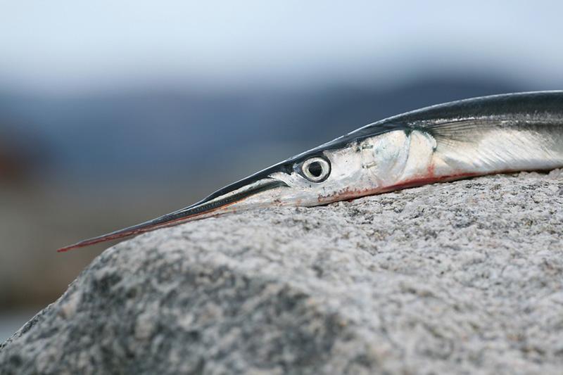 Gewöhnlicher Hornhecht (Belone belone) | Fischlexikon