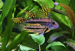 Aquarium Fische Süßwasser Liste : kakadu zwergbuntbarsch apistogramma cacatuoides fischlexikon ~ Watch28wear.com Haus und Dekorationen