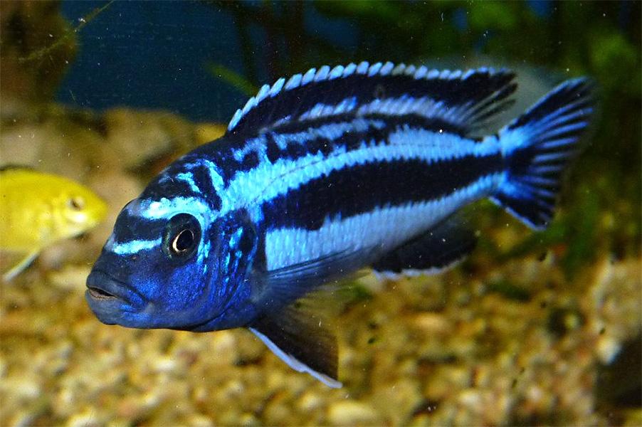 Stahlblauer Maulbr 252 Ter Melanochromis Cyaneorhabdos