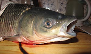 Fisch Graskarpfen Weisser Amur Ctenopharyngodon Idella Fischlexikon