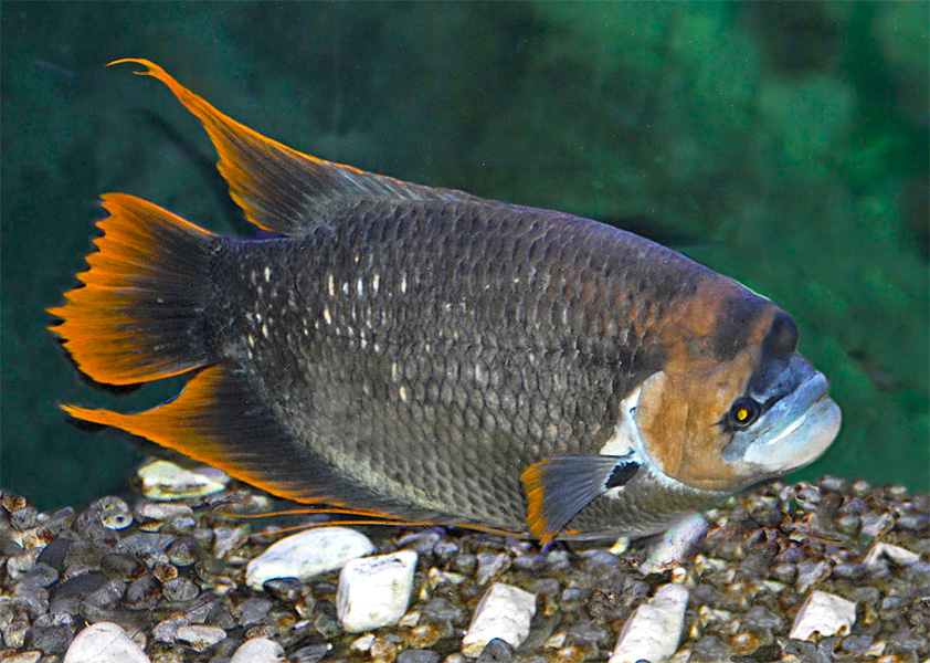 Roter Riesengurami Osphronemus Laticlavius Fischlexikon