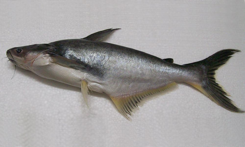 Pangasius pangasius pangasius pangasius fischlexikon for Swai fish wikipedia