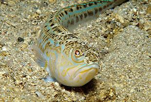 Petermännchen Fisch