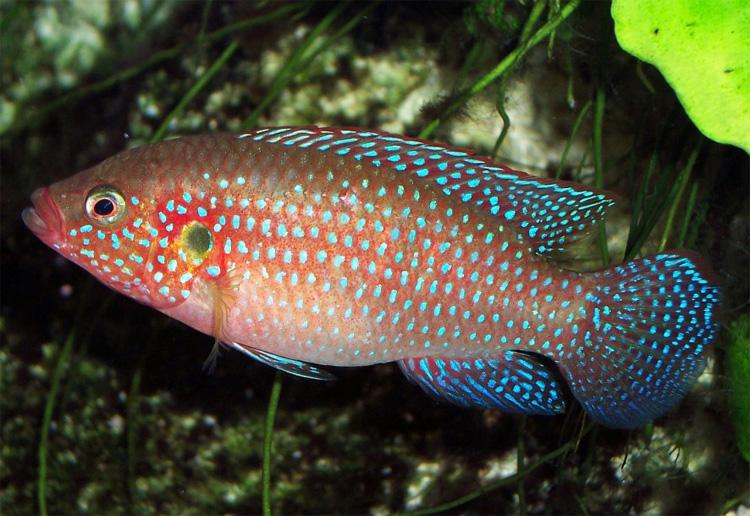 Roter Buntbarsch Hemichromis Bimaculatus Fischlexikon