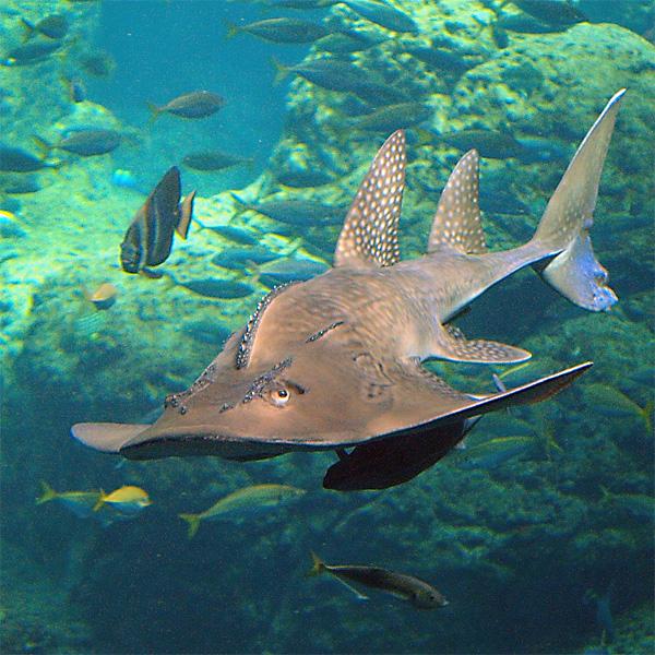 Rundkopf-Geigenrochen (Rhina ancylostoma)   Fischlexikon