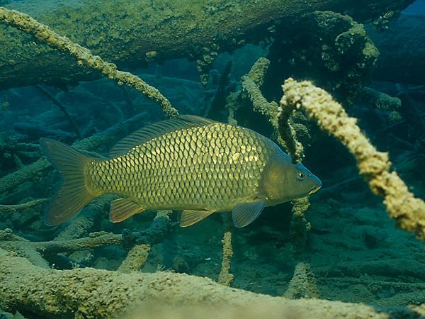 Karpfen schuppenkarpfen cyprinus carpio 2 fischlexikon for Lebensraum fische