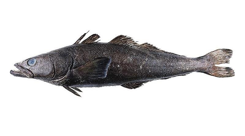 Schwarzer Seehecht