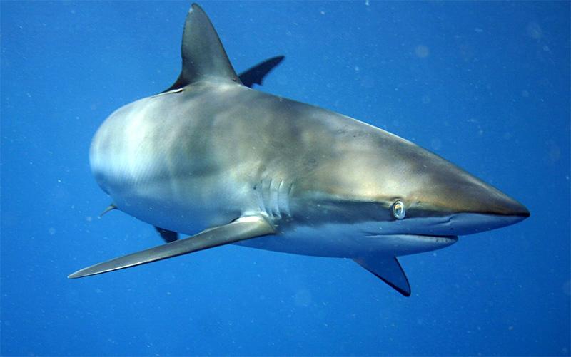 Seidenhai (Carcharhinus falciformis)   Fischlexikon