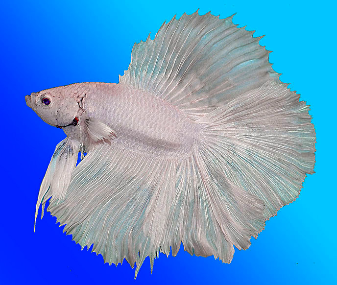 Siamesischer kampffisch betta splendens fischlexikon for Kampffische arten