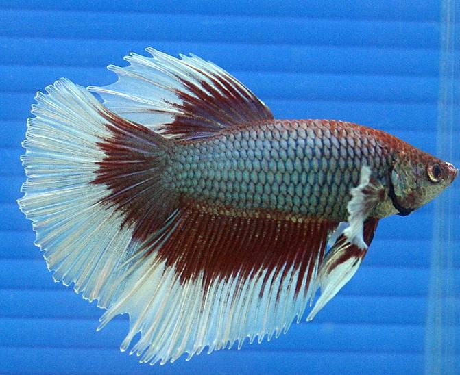 Siamesischer Kampffisch Betta splendens  Fischlexikon