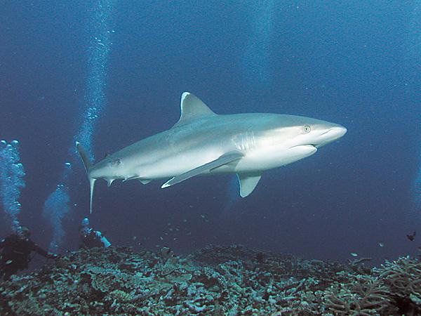Silberspitzenhai (Carcharhinus albimarginatus)   Fischlexikon