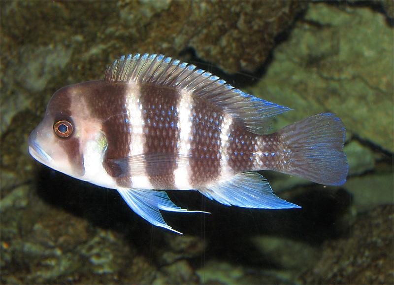 Beule kopf weisse fisch am ▷ Beulenkrankheit