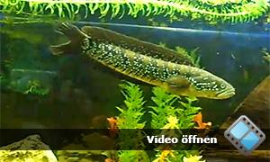 asiatischer schlangenkopffisch channa asiatica