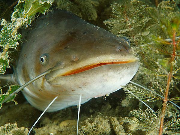 Waller Fisch Geschmack