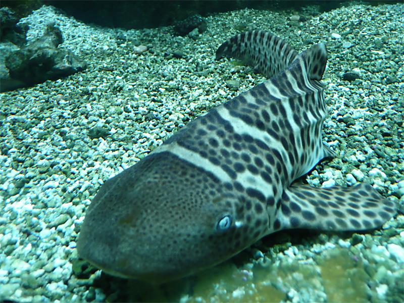 Zebrahai (Stegostoma fasciatum)   Fischlexikon