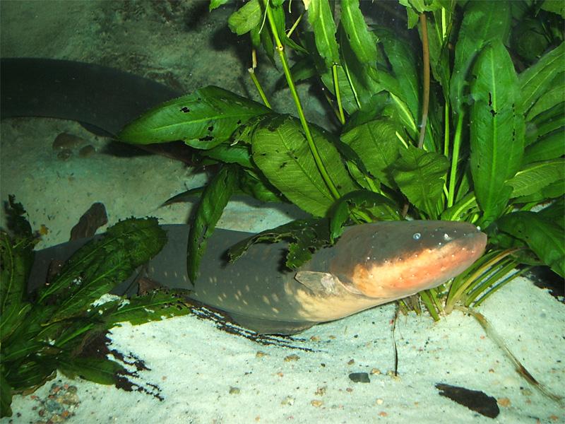 Zitteraal (Electrophorus electricus) | Fischlexikon